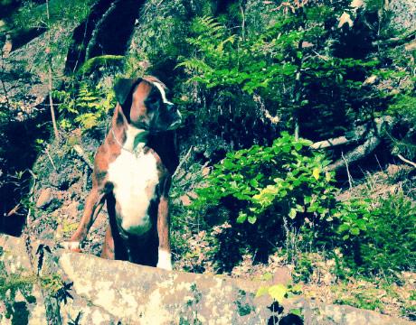 Boxerhündin Quita im Wald
